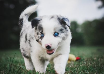 Blue merle border collie puppy running in the green grass.