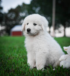 Alessia, ​Female Maremma Puppy
