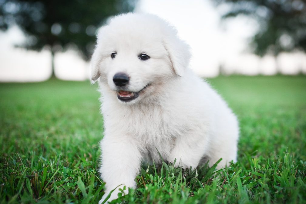 Elena, ​Female Maremma Puppy