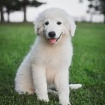 Gabriel is such a handsome and strong male Maremma Sheepdog puppy for sale.