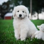 Maremma Sheepdog puppy for sale on the 2J 2K Ranch.
