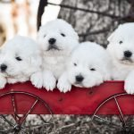 Four adorable Maremma Sheepdog puppies in a red wagon.