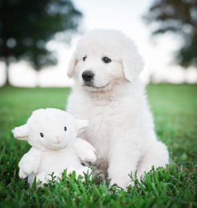 A Maremma Sheepdog puppy with her stuffed animal sheep in the green grass.