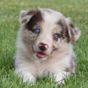 A red merle border collie puppy sitting in the grass