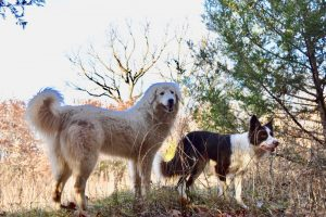 Maremma Sheepdog and Border Collie Breeder