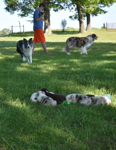 Blue merle and red merle border collies.