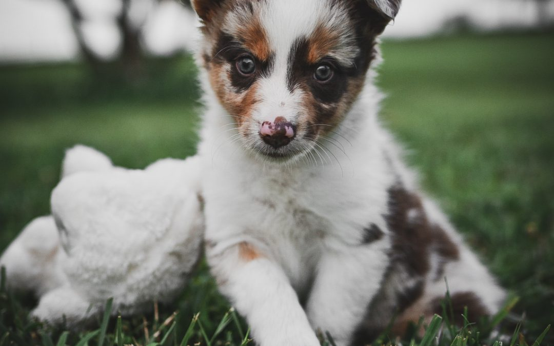 A Colorful Red Merle Female Border Collie Puppy For Sale 1080x675 Border Collie Maremma Sheepdog Puppies For Sale Code Of Ethics Breeder