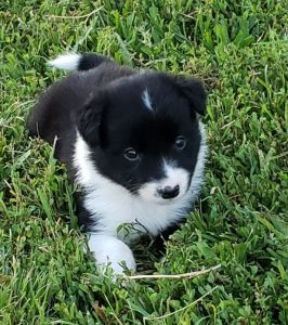 A black and white border collie puppy for sale.
