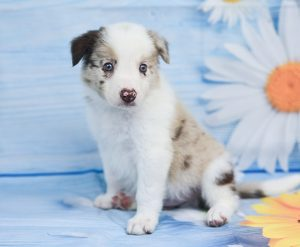 A playful border collie puppy named Quentin.