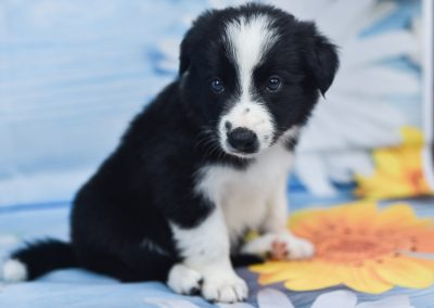 A sweet black and white border collie puppy named Tyrion.