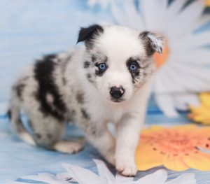Adorable, sweet, and playful blue merle border collie puppy named Jaqen.