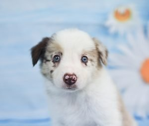 An adorable red merle border collie puppy named Quentin.