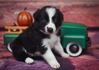Getting ready for fall, Tyrion is a handsoome black and white border collie puppy for sale.