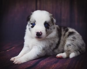 Jaqen is a gorgeous blue merle male border collie puppy for sale.