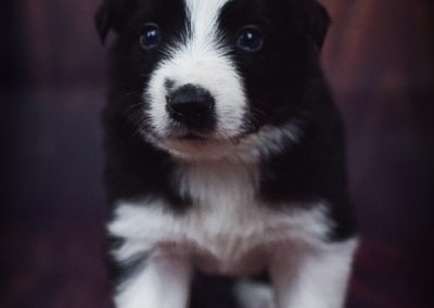 Such a sweet and playful black and white border collie puppy, named Tyrion.