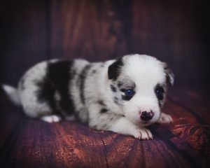 Sweet blue merle border collie puppy named Jaqen.