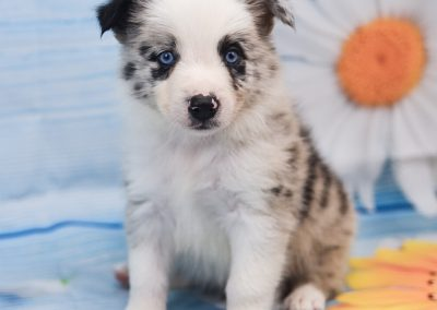 This cute little blue merle border collie puppy, Jaqen is for sale.