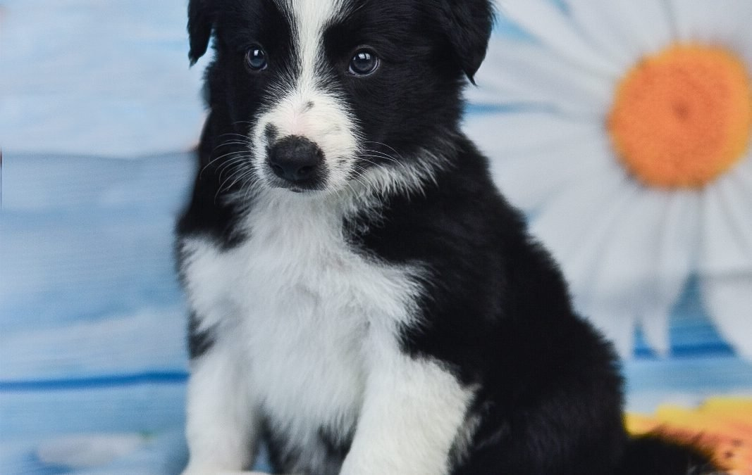 This cute little border collie puppy, Tyrion, is enjoying summer.