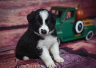 Tyrion, a gorgeous black and white male border collie puppy for sale.