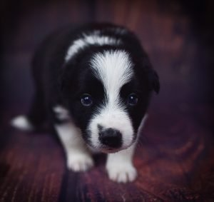 Tyrion is a black and white male border collie puppy.