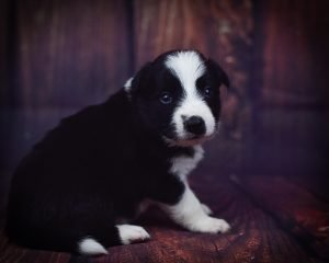 Tyrion is a playful black and white border collie puppy.