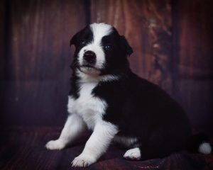 Tyrion is an adorable black and white border collie puppy.