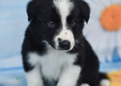 We love our black and white male border collie puppy, Tyrion.