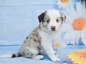 We love our red merle male border collie puppy, Quentin!