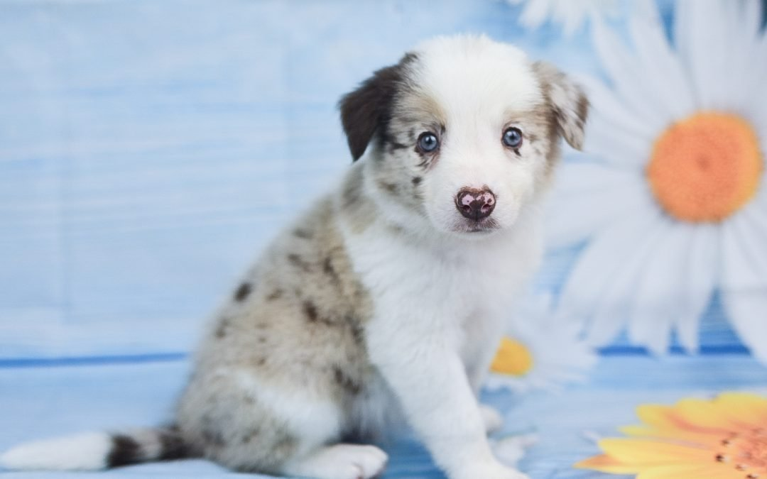 Available: Quentin A Handsome Red Merle Male