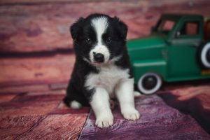 What a smart black and white border collie puppy named Tyrion.