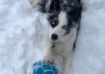A blue merle border collie and her blue ball in the snow.
