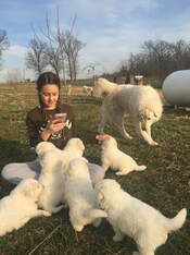 A young girl sits with a pile of Maremma puppies on a green lawn.