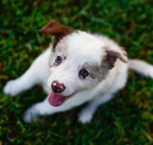A beautiful and happy, red merle, border collie puppy named Quentin.