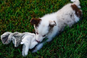 A playful and beautiful, red merle, border collie puppy named Quentin.