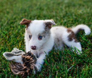 A smart border collie puppy named Quentin playing with his squirrel toy.