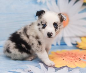 A sweet blue merle border collie puppy named Jaqen.