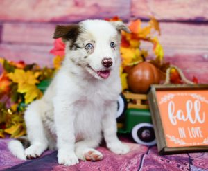 Fall in love with Quentin, a red merle border collie puppy for sale.
