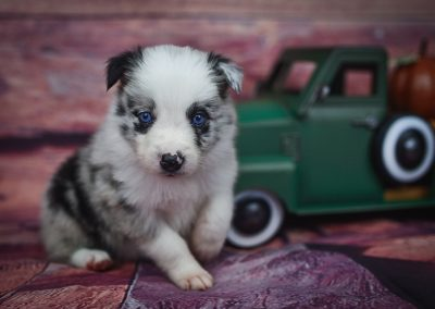 Getting ready for fall, Jaqen is a handsoome blue merle border collie puppy for sale.