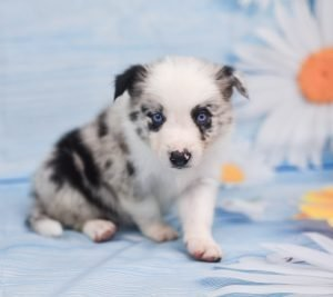 Jaqen, a gorgeous blue merle male border collie puppy for sale.