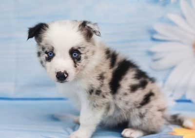 Jaqen is a spoiled and handsome blue merle border collie puppy for sale.