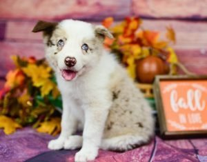 Our red merle male border collie puppy, Quentin is ready for fall!