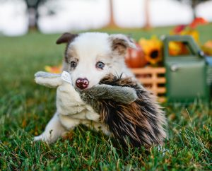 Quentin, a red merle border collie puppy, is squirrelin around and having fun!