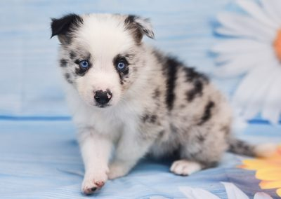 Stunning, blue merle border collie puppy named Jaqen.