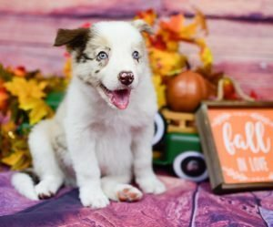 Stunning, red merle border collie puppy named Quentin poses with autumn decor.