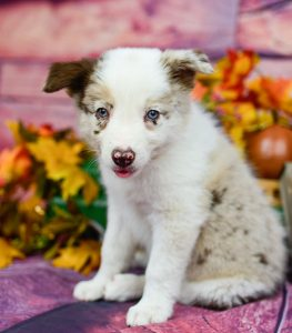 Take me home, says Quentin, a red merle border collie puppy for sale.