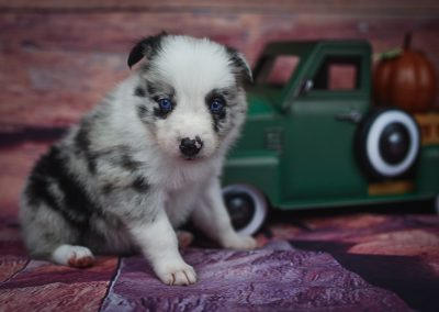 We love our blue merle male border collie puppy, Jaqen.