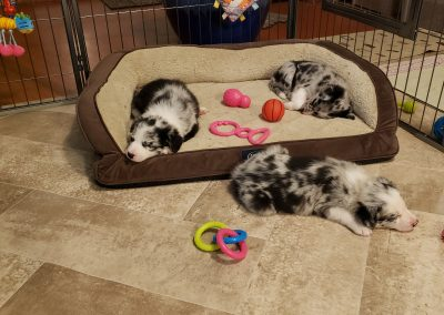 Blue merle border collie puppies in their puppy nursery.