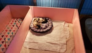 Blue merle border collie puppies sleeping in their puppy bed.