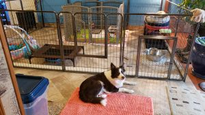 Border collie puppies in their puppy nursery.