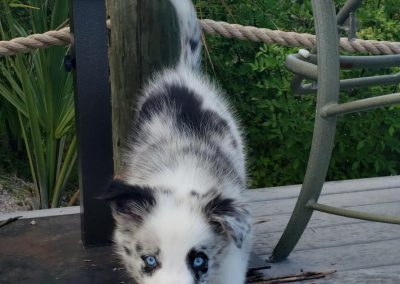 A blue merle male border collie puppy on the dock in Florida.